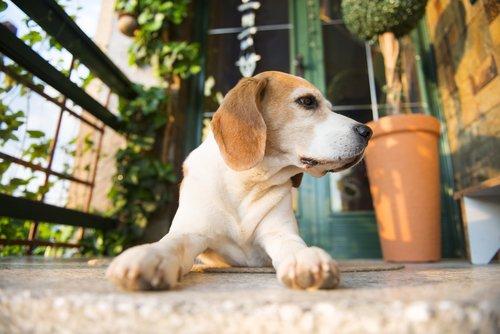 perro-cuida casa