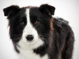 http://www.topcinco.es/thumbs/Border-Collie.jpg